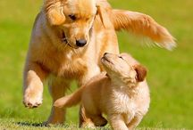 Goldens and friends / by Donna Caron