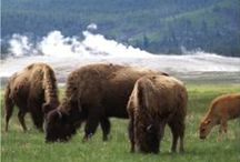 YELLOWSTONE TRIP / Tips and tricks for making the most out of a trip to Yellowstone National Park