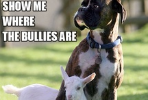 """Who wants to be BULLIED??? / Not a fan of cropped ears or tails.  Love dogs """"au Natural"""" but would love any dog however they come to me.....I don't believe in cropping myself and would never have it done to any dog as my own preference."""