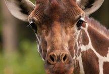 Giraffes / by Sallie Denmark