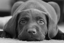 I Love Chocolate...Labs that is!