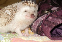 My Hedgehog Obsession / by Jocelyn Pike