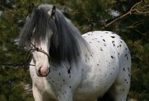 Gypsy Horses / The hardy Gypsy horse breed appears in all colors and patterns, and is a steady ridden, or carriage horse.