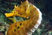 Seahorses / Rare jewels of the ocean; seahorses. Let's keep them alive.