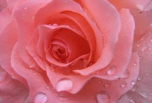 Rain drops on Roses / by Mimi Panormios