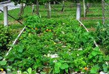 Gardening & Preserving / How to grow a garden and preserve the fruits of your labor.