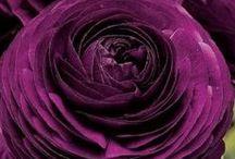 Vermelho-Violeta