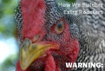 Chicken How-To's / How to get started with chickens and other chicken keeper info
