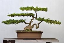 bonsai / by Meredith Maycotte