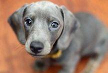 Weeenniee! / My favorite animal of all time!  / by Mandy Feldhus