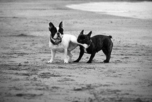 Frenchie Love <4