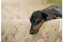 House of Dachshund / All about Weena's