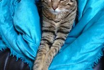 My Spoiled Handsome Kitty / #bengal #photography #catphotography #cats / by Sarah Holland