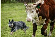 Australian Cattle Dogs / by Dianna Campbell