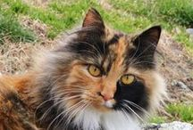 Calico Cats / Cats