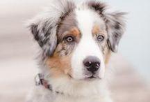 Race de Chiens - Dog Breed