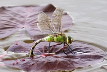 Dragonflies......... / by Brenda Veeder