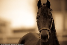 The Morgan Horse / by Wild Horsefeathers