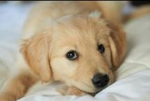 Love of Dogs and goldens / by Christie