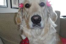 "Golden Retriever  Love  ( Daisy )  (r*) /   "" A Golden Stole My Heart """