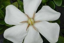 "GARDEN - Gardenia * / "" White Gardenias take me there , while I sit upon mu chair and listen to the crickets play, in their orchestrative way......""                   White Gardenia Night       by  Rebecca Wiles"
