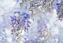 flowers in the abbey / wisteria