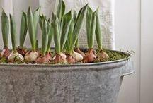 bulbs for spring