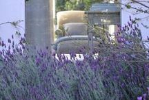 """lavender / """"best among the good plants for hot, sandy soils are the ever blessed lavender and rosemary, delicious old garden bushes that one can hardly dissociate."""" Miss Jekyll Home and Garden 1900"""