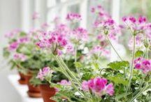 geraniums and