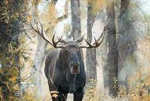 elk moose reindeer deer caribou
