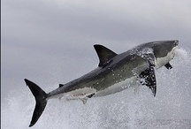 Sharks / Share and pin your favorite pictures and capture all of the many amazing species of shark this planet has to offer.