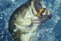 I am married to a BASS FISHERMAN / Bass lures, poles, anything largemouth bass!! Locations of Bass filled lakes, Fishing Tips,& pro info.  Present ideas for Big Daddy! / by Alicia Hawley