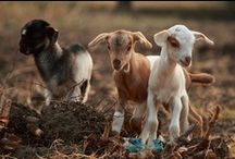 Goats / by Meredith e