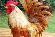 Chickens Galore