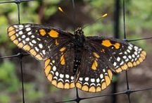 Butterflies, Moths, and Insects