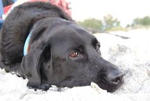 Labrador Retrievers / I am a Lab-O-Holic! The cover pic is my black lab named Otto.  / by Annette Major