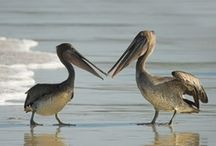 Pelicans & Beach Birds