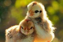 {Here a} Chick / There a chick, everywhere a chick chick! / by Gibbs Smith Books