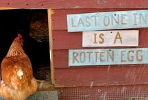 Raising chickens / Caring for chickens