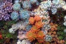 succulent succulents / Succulents + cacti, baby!  Houseplant and landscape plants alike--xeric gardens, rock gardens, deserts and the amazing plants that thrive there.