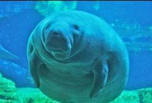 Hippo&Manatee