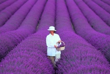 Lavanda Lavender