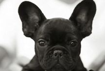 French Bulldog / by Casey Merriman