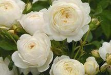 Roses / by Jennifer Baker