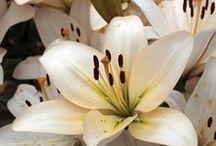 Daylilies  / by Jennifer Baker