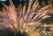 Ornamental Grass / by Jennifer Baker
