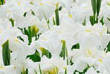 Irises / by Jennifer Baker