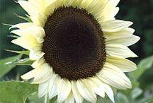 Sunflowers / by Jennifer Baker