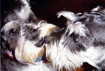 Schnauzers - Pure, Sweet Love! / by Teresa Johnson