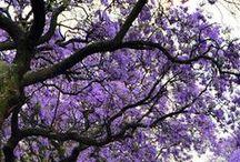 Jacaranda / The Most Exquisite Exotic Tree